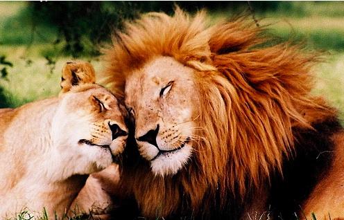 Immagini sfondi e wallpaper di felini leoni tigri pantere for Sfondi leone